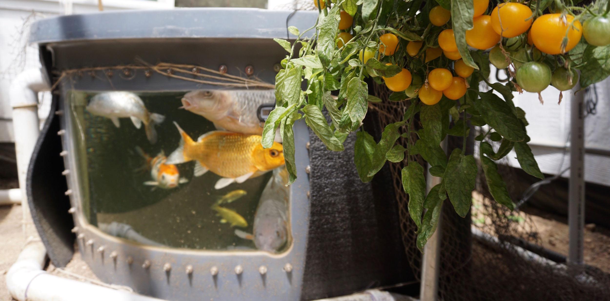 Energy-Efficient Aquaponics Greenhouses | Ceres Greenhouse on small vegetable greenhouse, small solar greenhouse, micro aquaponics greenhouse, easy aquaponics greenhouse, private aquaponics greenhouse,