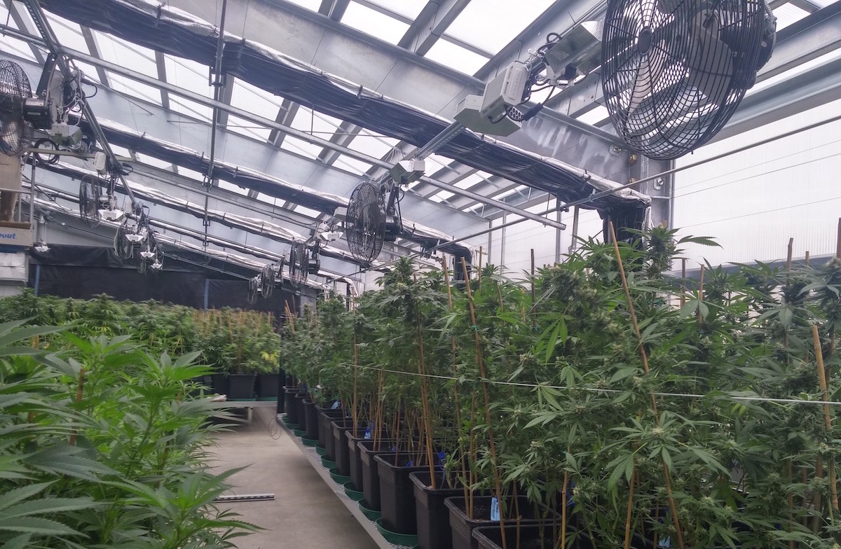 Advanced Automated Cannabis Greenhouse Ceres Greenhouse