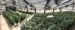 Year-Round Commercial Cannabis Greenhouse
