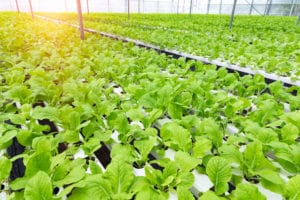 Commercial greenhouse hydrponics