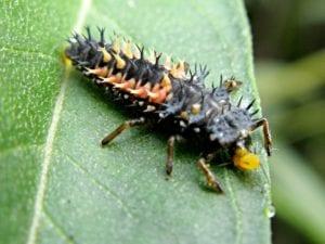 ladybug larvae greenhouse pest control