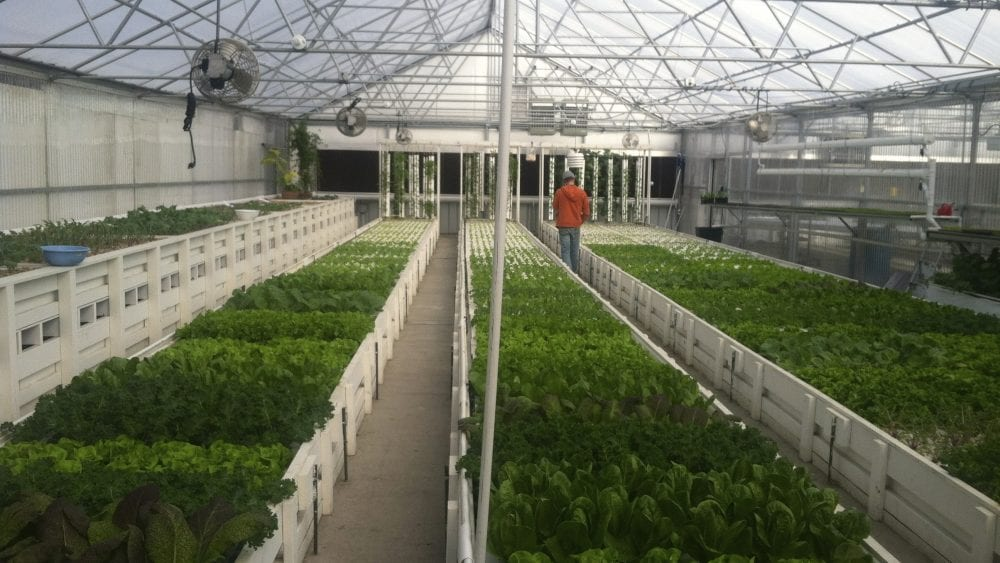 Commercial aquaponics greenhouse