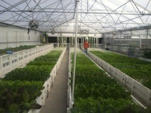 Commercial aquaponics greenhouse
