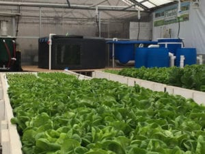 3,000 sq. ft. commercial aquaponics greenhouse at Flourish Farms, Denver