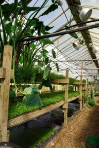 aquaponics greenhouse_growing power