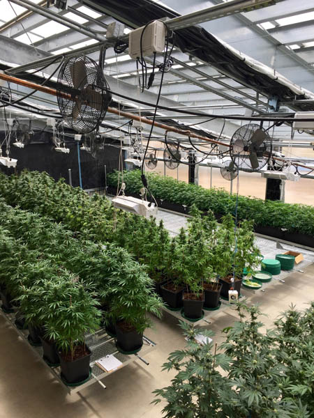Year-round cannabis greenhouse_Ceres Greenhouse