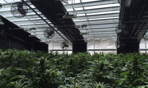 automated cannabis greenhouse