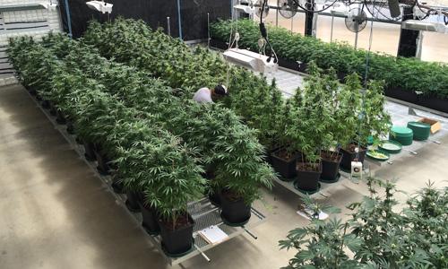 year round cannabis greenhouse