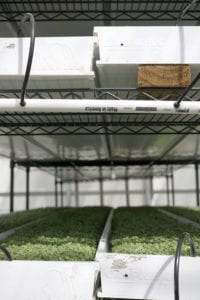 microgreens in the greenhouse