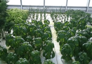 Inside Ceres HighYield greenhouse