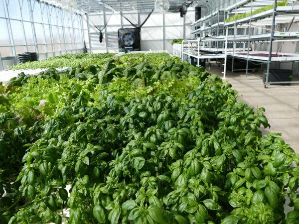 aquaponics greenhouse for sale- aquaponic solar greenhouse