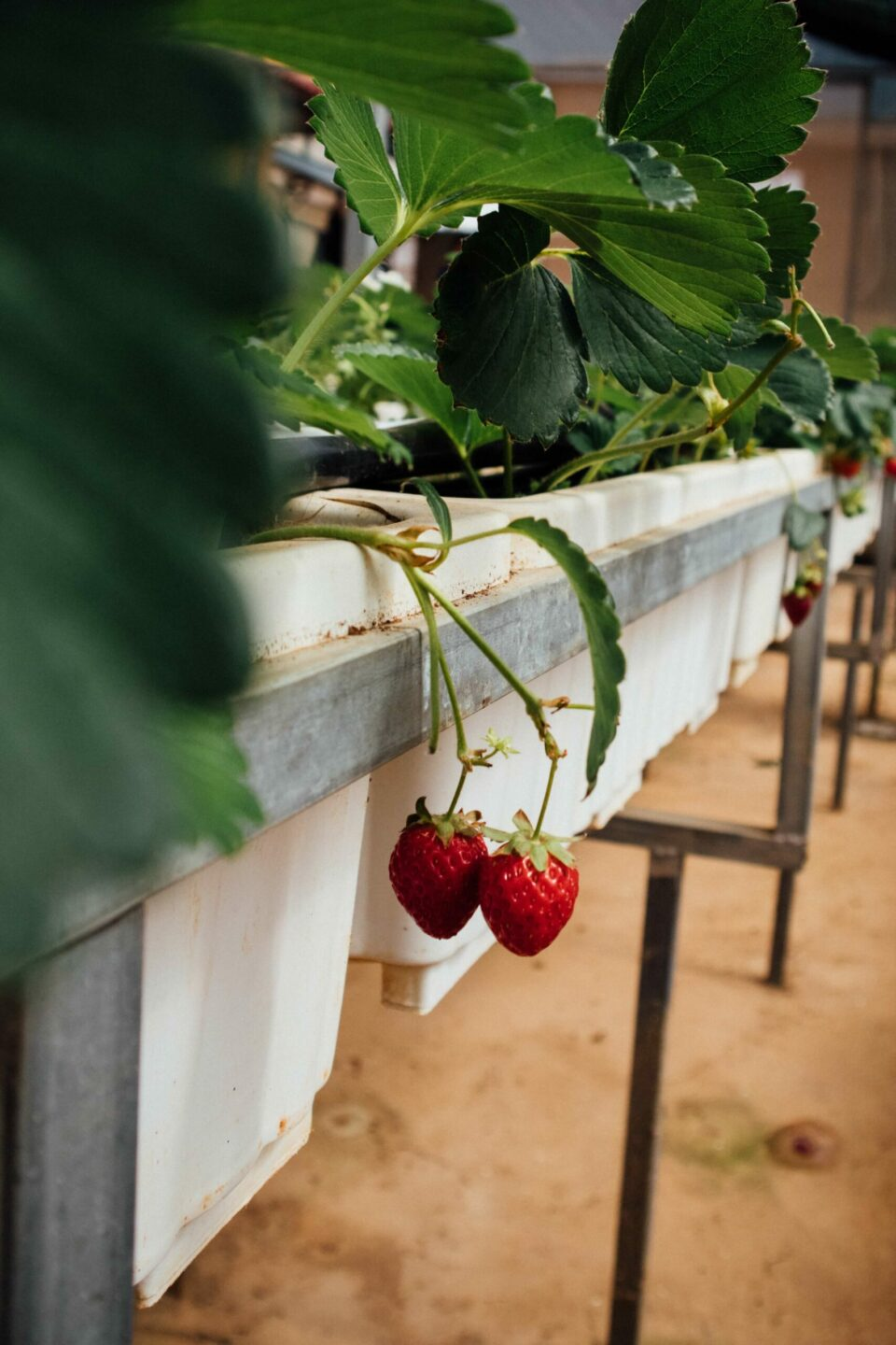 Thinking About Growing Strawberries In A Greenhouse?